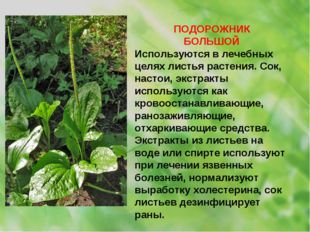ПОДОРОЖНИК БОЛЬШОЙ Используются в лечебных целях листья растения. Сок, настои