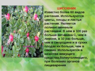 ШИПОВНИК Известно более 60 видов растения. Используются цветы, плоды и листья