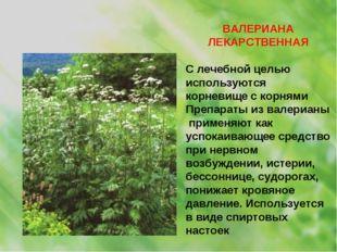 ВАЛЕРИАНА ЛЕКАРСТВЕННАЯ С лечебной целью используются корневище с корнями Пре