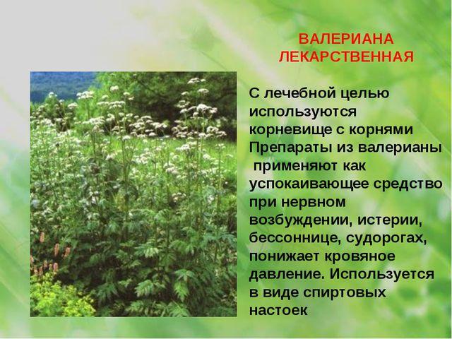 ВАЛЕРИАНА ЛЕКАРСТВЕННАЯ С лечебной целью используются корневище с корнями Пре...