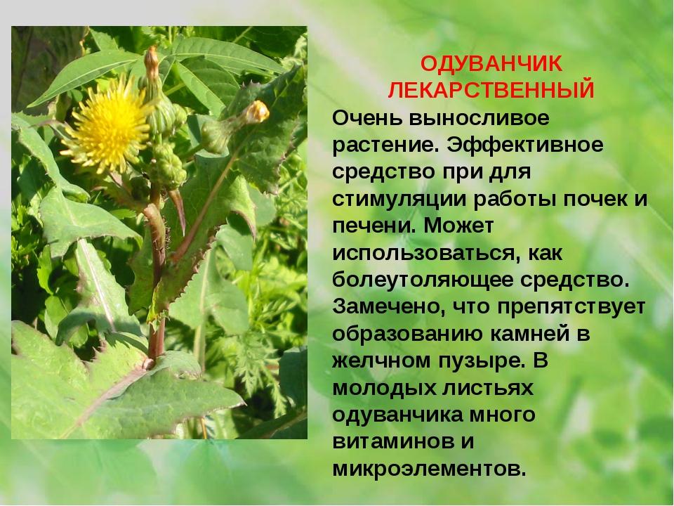 ОДУВАНЧИК ЛЕКАРСТВЕННЫЙ Очень выносливое растение. Эффективное средство при д...