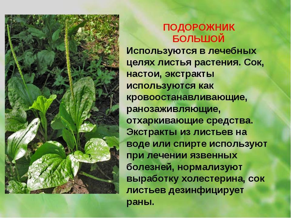 ПОДОРОЖНИК БОЛЬШОЙ Используются в лечебных целях листья растения. Сок, настои...