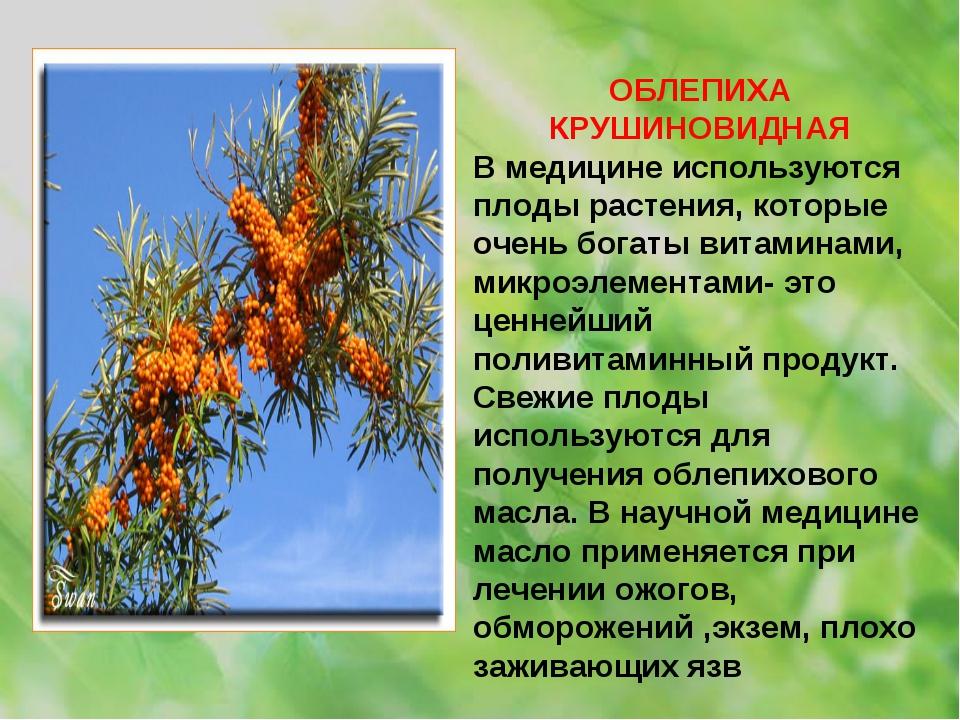 ОБЛЕПИХА КРУШИНОВИДНАЯ В медицине используются плоды растения, которые очень...