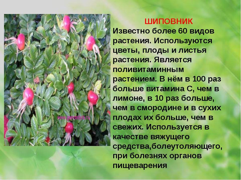 ШИПОВНИК Известно более 60 видов растения. Используются цветы, плоды и листья...