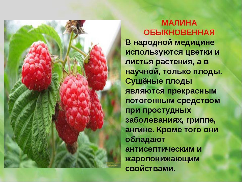 МАЛИНА ОБЫКНОВЕННАЯ В народной медицине используются цветки и листья растения...