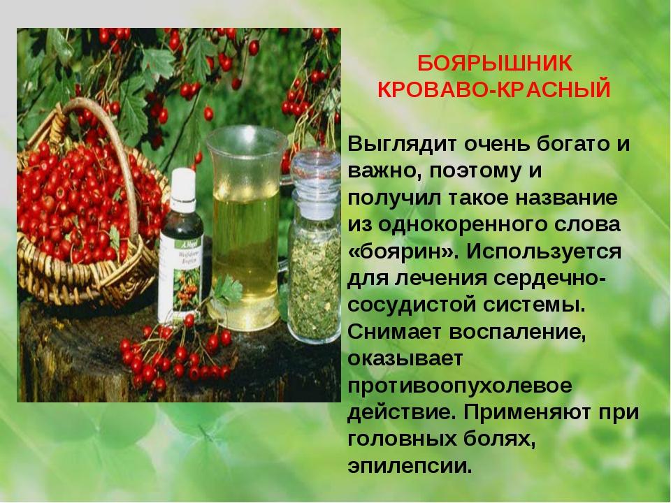 БОЯРЫШНИК КРОВАВО-КРАСНЫЙ Выглядит очень богато и важно, поэтому и получил та...