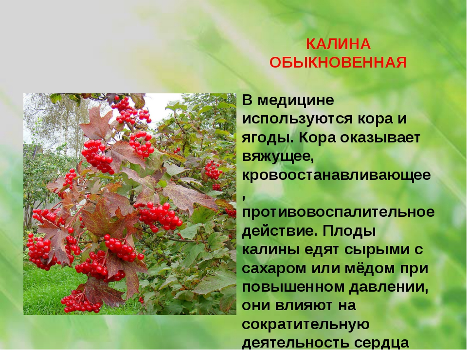 КАЛИНА ОБЫКНОВЕННАЯ В медицине используются кора и ягоды. Кора оказывает вяжу...