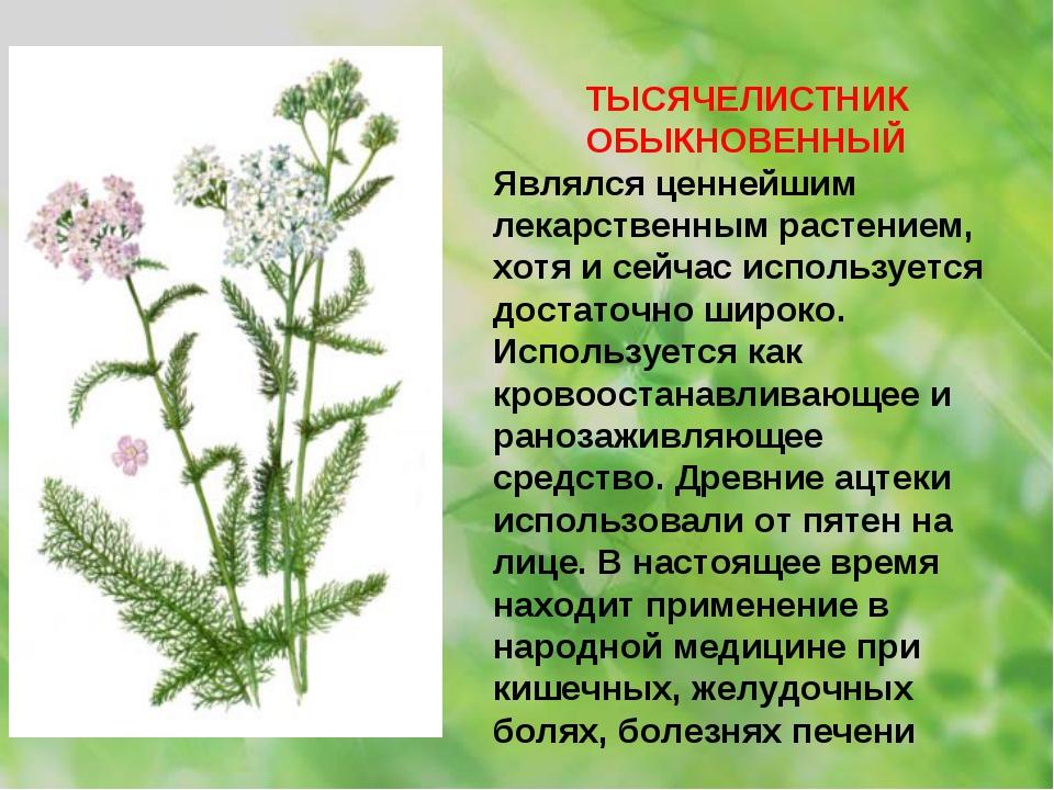 ТЫСЯЧЕЛИСТНИК ОБЫКНОВЕННЫЙ Являлся ценнейшим лекарственным растением, хотя и...