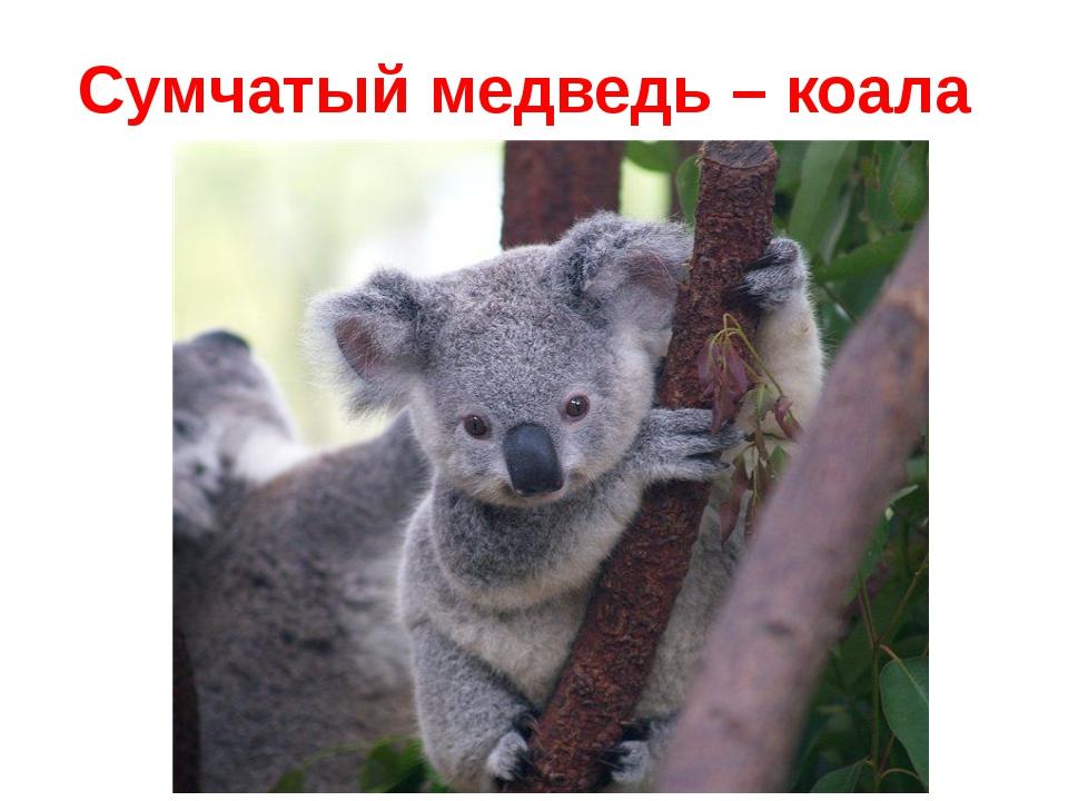 Сумчатый медведь – коала