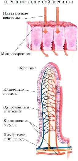 http://www.tepka.ru/biologiya_cheloveka/30.8.jpg