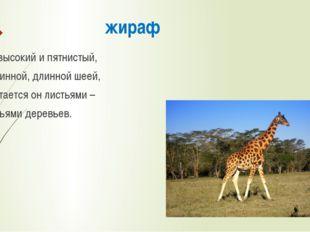 жираф Он высокий и пятнистый, С длинной, длинной шеей, И питается он листьями