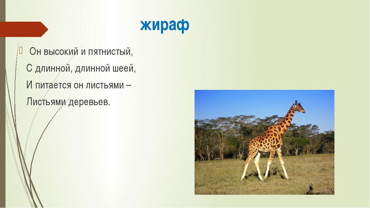 жираф Он высокий и пятнистый, С длинной, длинной шеей, И питается он листьями...