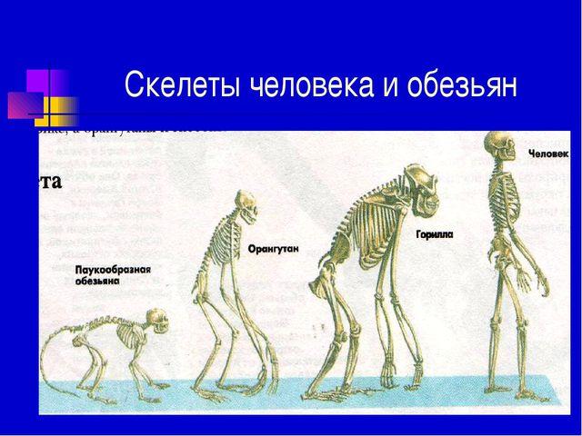 Скелеты человека и обезьян