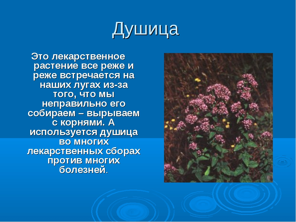 Душица Это лекарственное растение все реже и реже встречается на наших лугах...