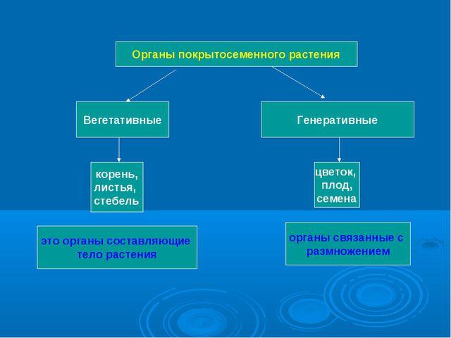 Органы покрытосеменного растения Вегетативные Генеративные корень, листья, ст...