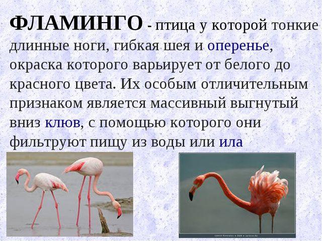 ФЛАМИНГО - птица у которой тонкие длинные ноги, гибкаяшеяиоперенье, окраск...