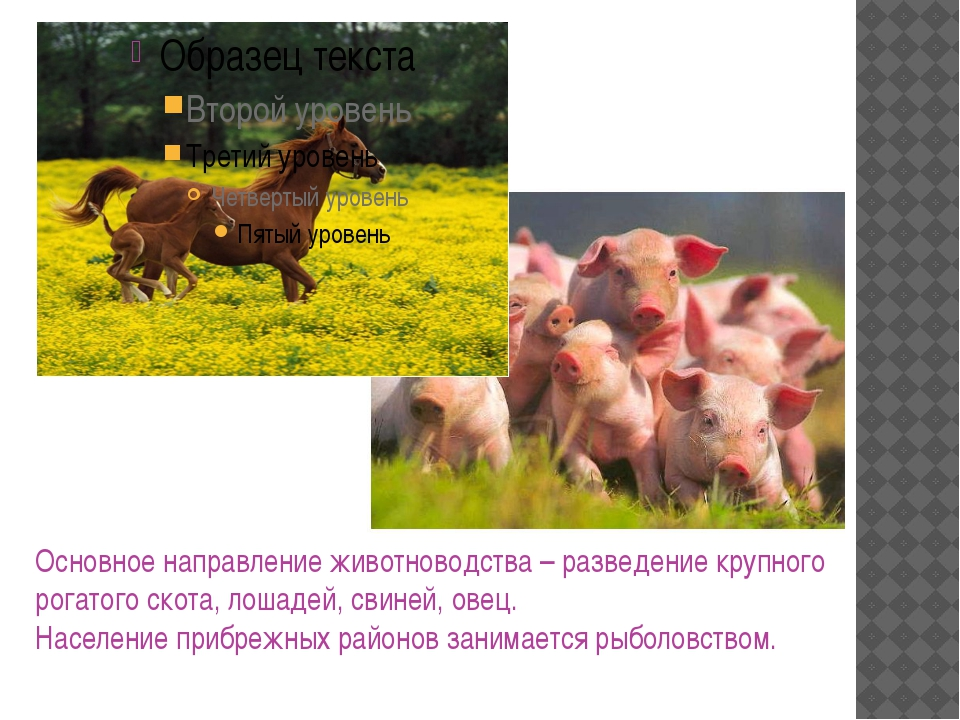 Основное направление животноводства – разведение крупного рогатого скота, лош...