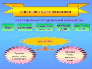 Схема строения наследственной информации КЛЕТОЧНОЕ ЯДРО (продолжение) Ядро х