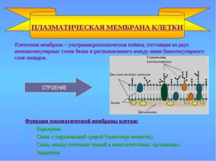 Клеточная мембрана – ультрамикроскопическая плёнка, состоящая из двух мономо