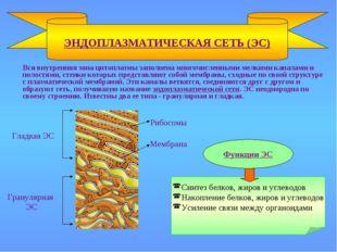 Вся внутренняя зона цитоплазмы заполнена многочисленными мелкими каналами и