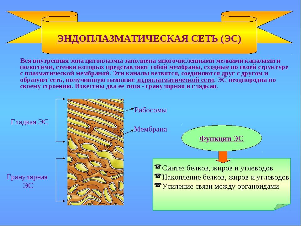 Вся внутренняя зона цитоплазмы заполнена многочисленными мелкими каналами и...