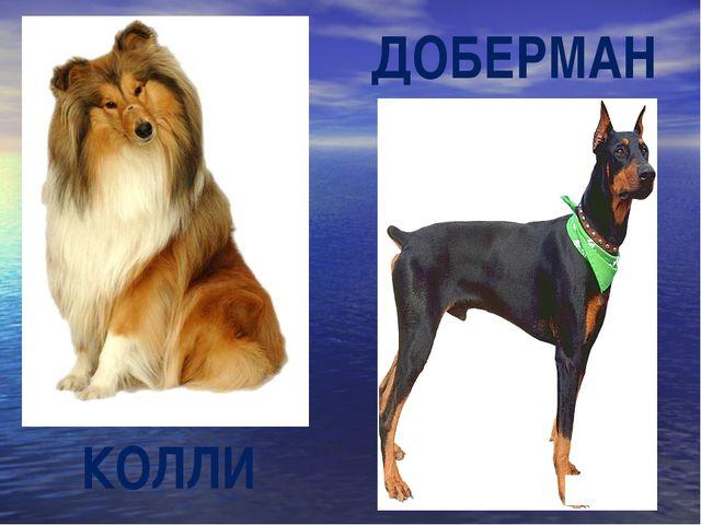 КОЛЛИ ДОБЕРМАН