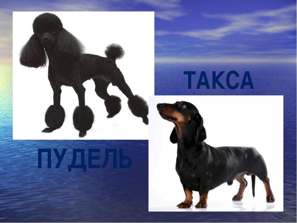 ПУДЕЛЬ ТАКСА