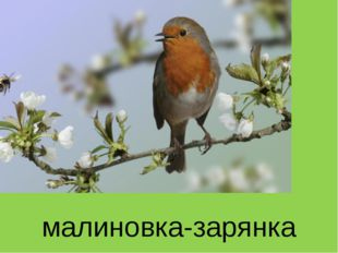 малиновка-зарянка