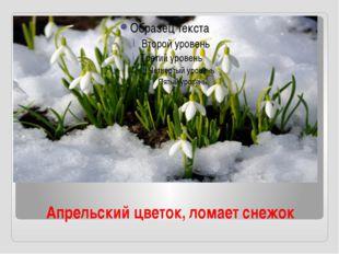 Апрельский цветок, ломает снежок