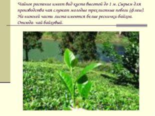 Чайное растение имеет вид куста высотой до 1 м. Сырьем для производства чая с
