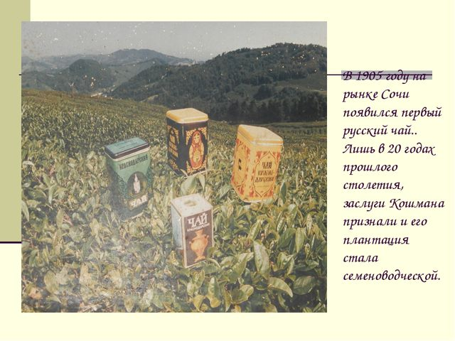 В 1905 году на рынке Сочи появился первый русский чай.. Лишь в 20 годах прошл...