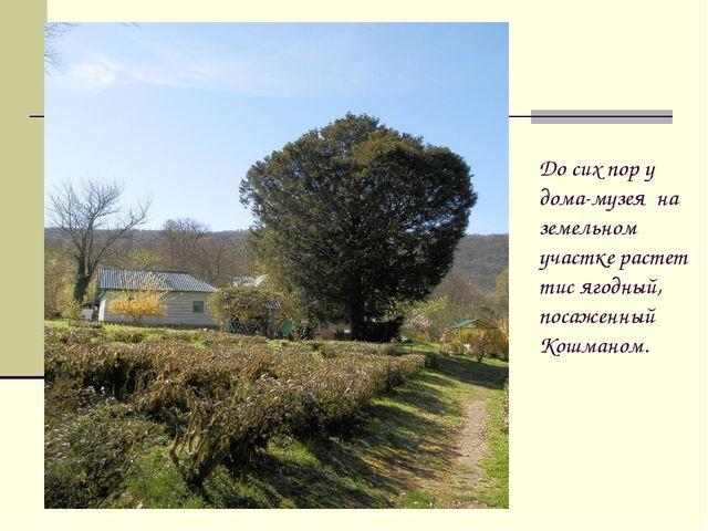 До сих пор у дома-музея на земельном участке растет тис ягодный, посаженный К...