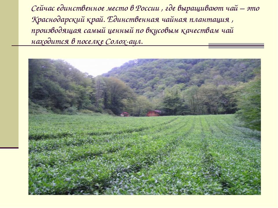 Сейчас единственное место в России , где выращивают чай – это Краснодарский к...