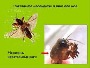 Назовите насекомое и тип его ног Медведка, копательные ноги