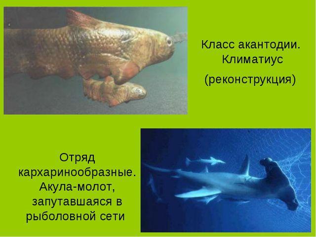 Класс акантодии. Климатиус (реконструкция) Отряд кархаринообразные. Акула-мол...