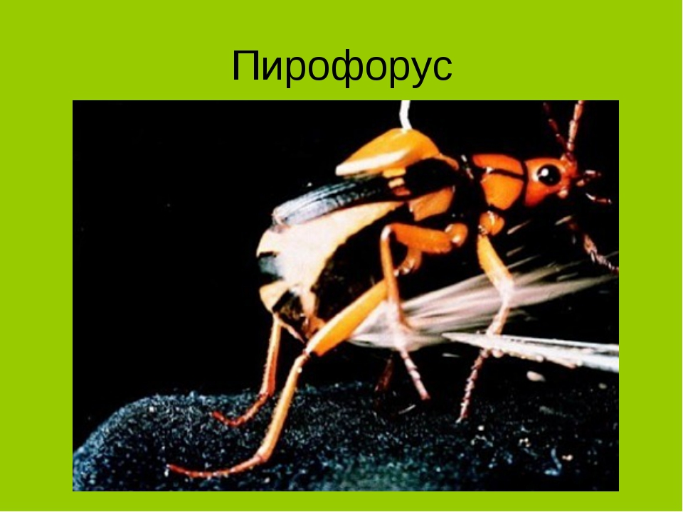 Пирофорус