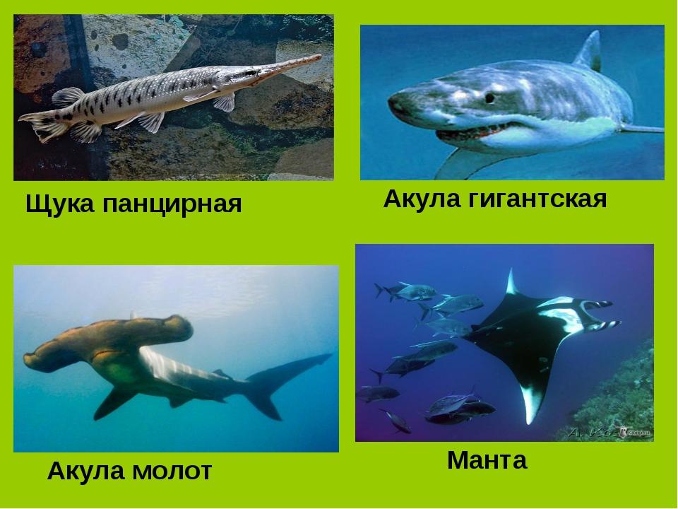 Щука панцирная Акула гигантская Акула молот Манта