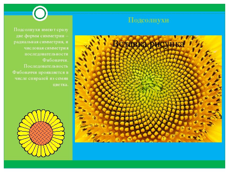 Подсолнухи Подсолнухи имеют сразу две формы симметрии – радиальная симметрия,...