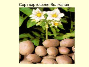 «Волжанин» Сорт картофеля Волжанин