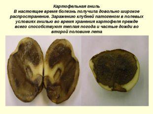 Картофельная гниль В настоящее время болезнь получила довольно широкое распро