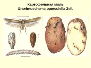 Картофельная моль Gnorimoschema operculella Zell.