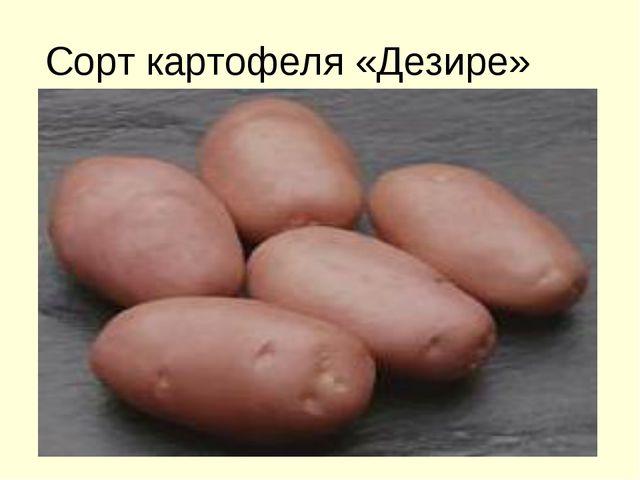 Сорт картофеля «Дезире»