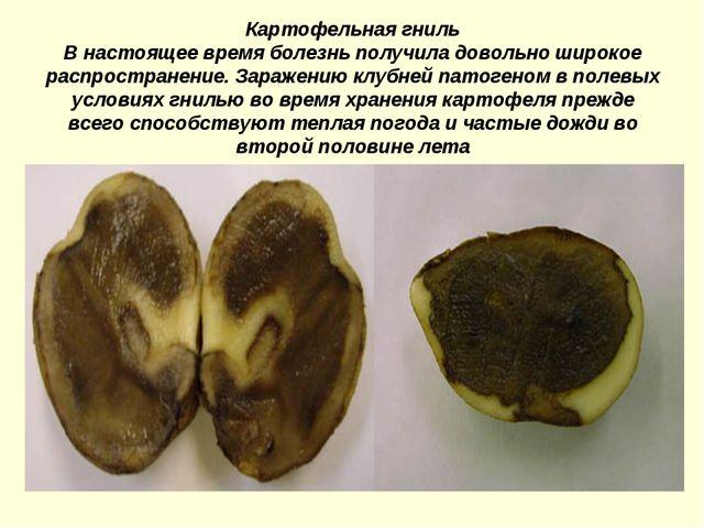Картофельная гниль В настоящее время болезнь получила довольно широкое распро...