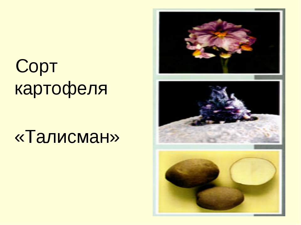 Сорт картофеля «Талисман»