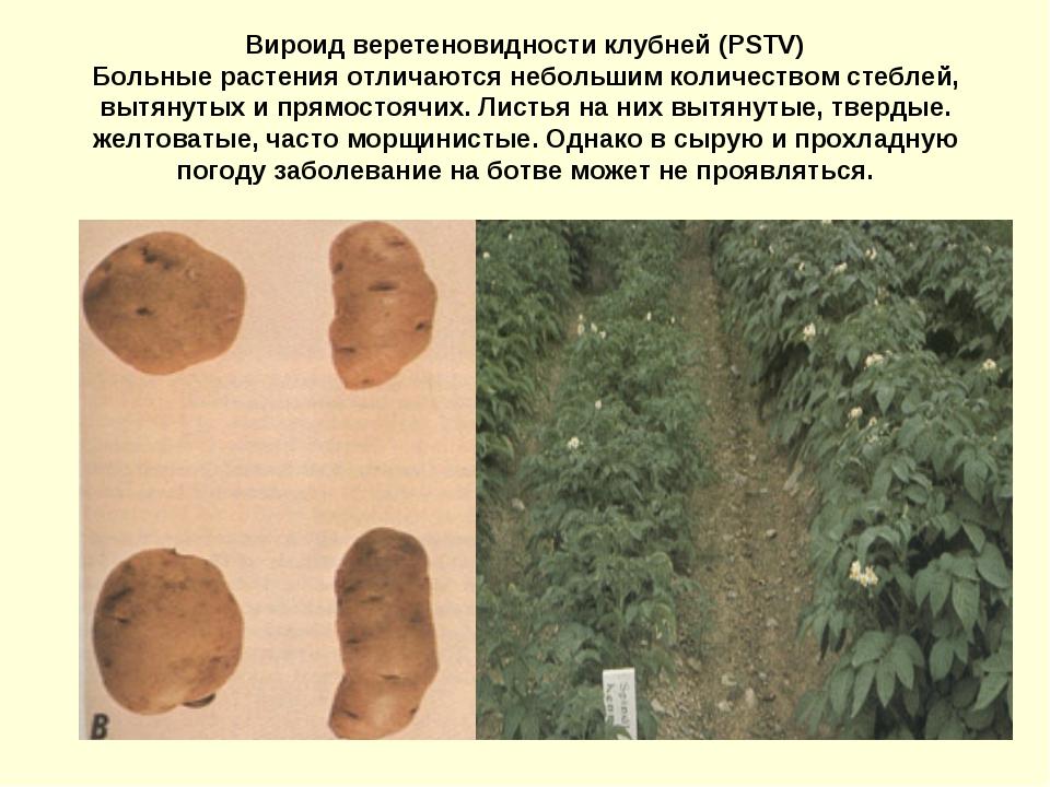 Вироид веретеновидности клубней (PSTV) Больные растения отличаются небольшим...