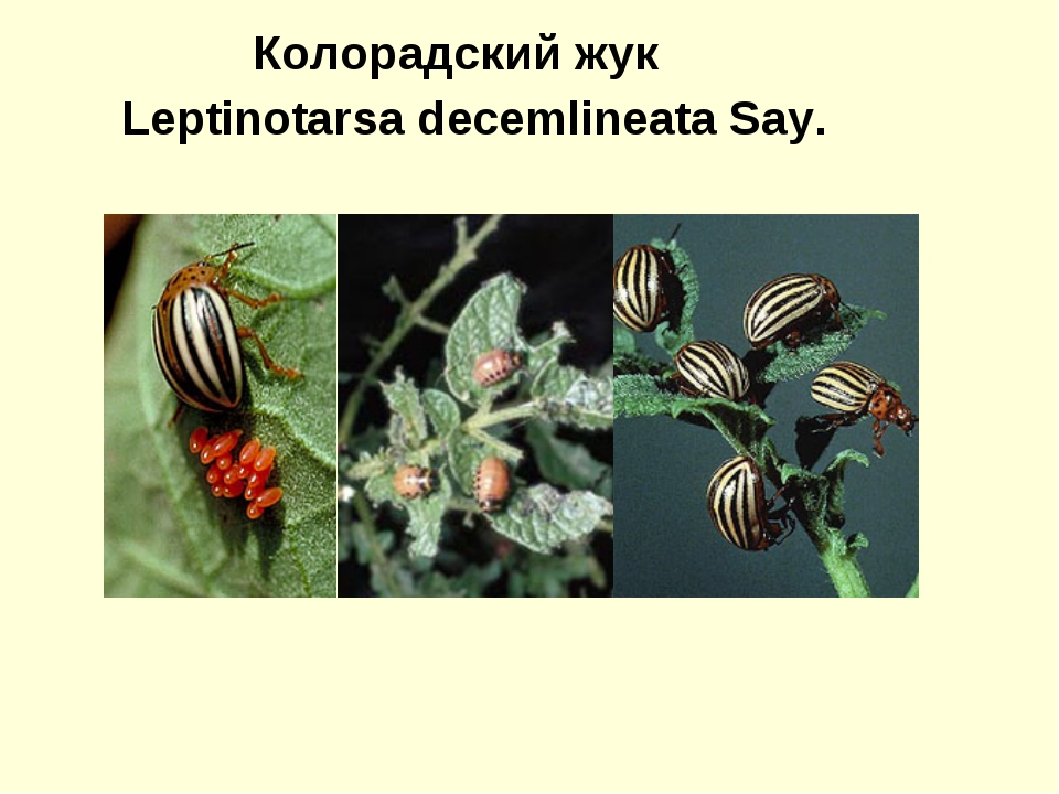 Колорадский жук Leptinotarsa decemlineata Say.