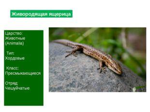 Живородящая ящерица Царство: Животные (Animalia) Тип: Хордовые Класс: Пресмык