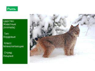 Рысь Царство: Животные (Animalia) Тип: Хордовые Класс: Млекопитающие Отряд: Х