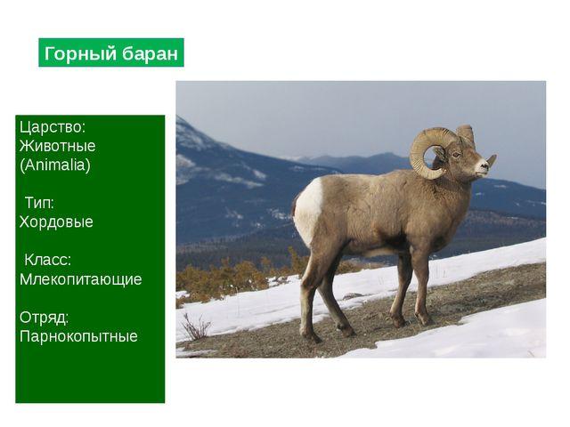 Горный баран Царство: Животные (Animalia) Тип: Хордовые Класс: Млекопитающие...