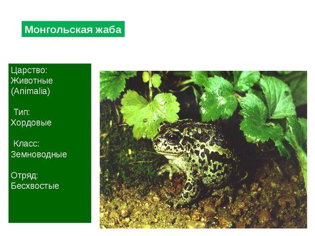 Монгольская жаба Царство: Животные (Animalia) Тип: Хордовые Класс: Земноводны...